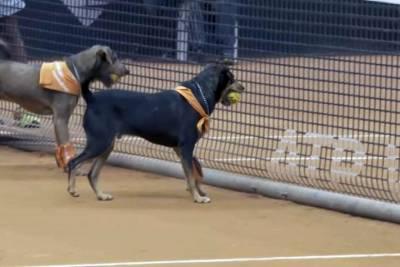 巴西網球公開賽 流浪犬連續3年當球僮