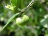 影/「茶樹精油」抗菌 抗寄生物 抗癬,還有這4種應用...